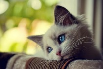 beautiful,cat,pensive,photo,waiting,koty-06236f8063450bf3695d49df08fa672a_h